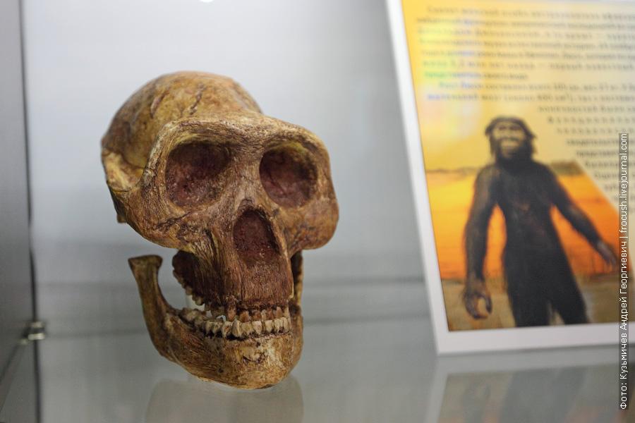 Слепок черепа женской особи австралопитека афарского