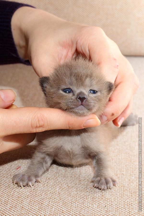 котенок Бомбей из питомника в Москве