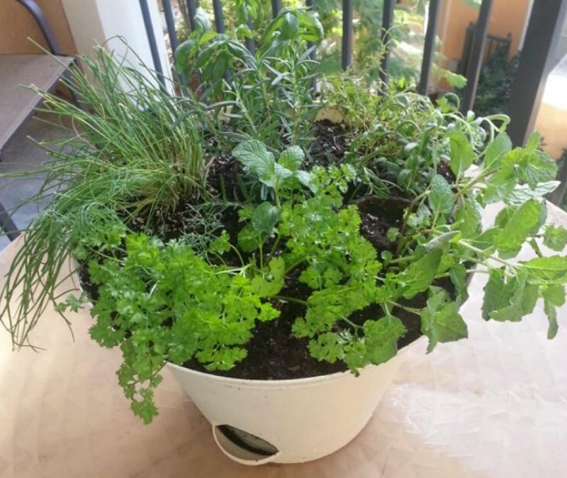 Как сеять петрушку— 10 советов по выращиванию петрушки