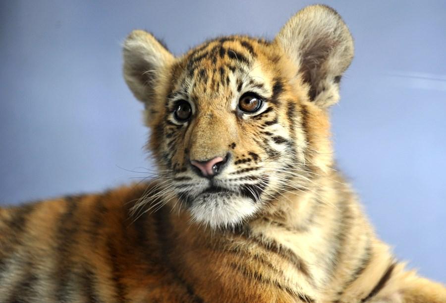 0_e55c0_2890c5a7_orig Туристы с тигрятами в китайском зоопарке