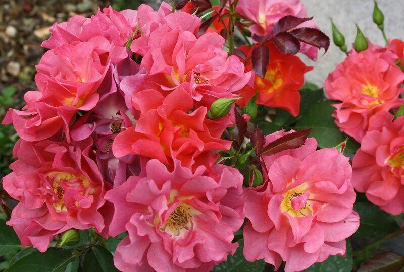 Роза флорибунда Чинко де Майо (Cinco de Mayo) Tom Carruth США, 2006