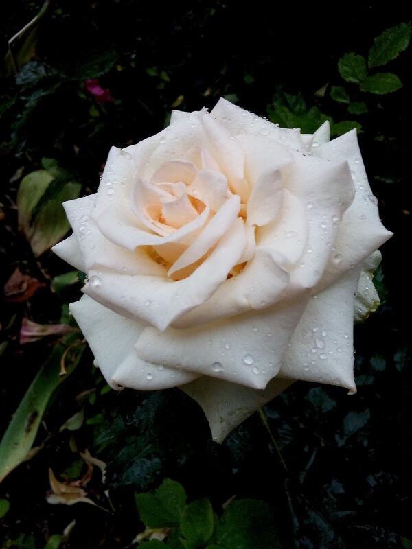Роза-7.jpg