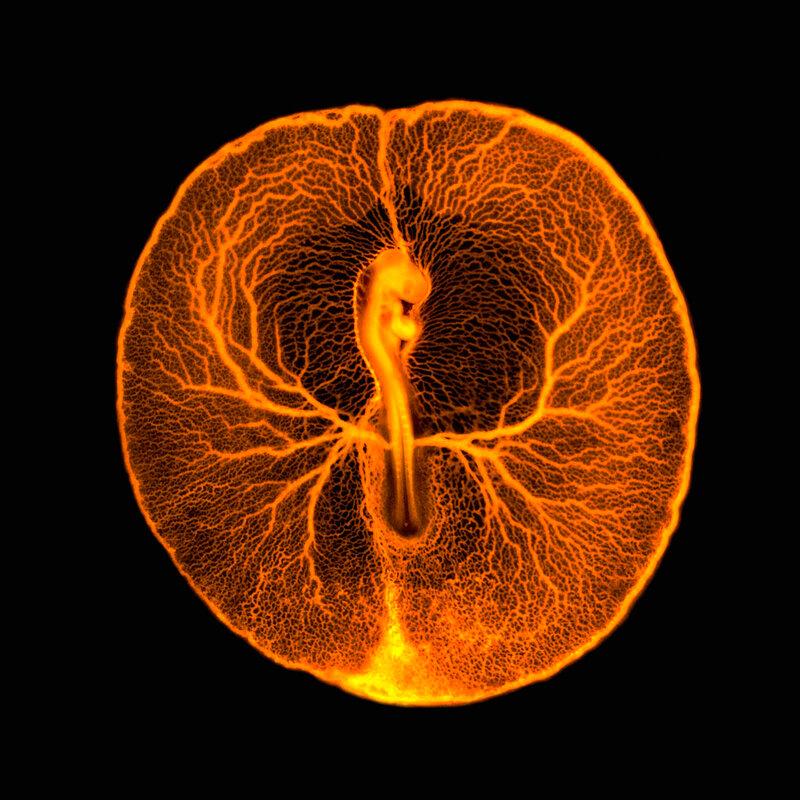 B0008295 Chicken embryo vascular system