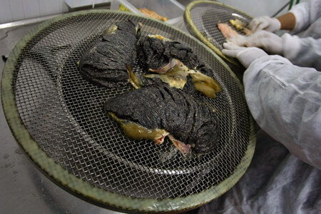 KIBBUTZ DAN, ISRAEL - APRIL 22: Workers separate caviar from its placenta in a sterile room at the Galilee Caviar's processing plant on April 22, 2009 in Kibbutz Dan in northern Israel. Far from the Caspian Sea, where over fishing and pollution have slas