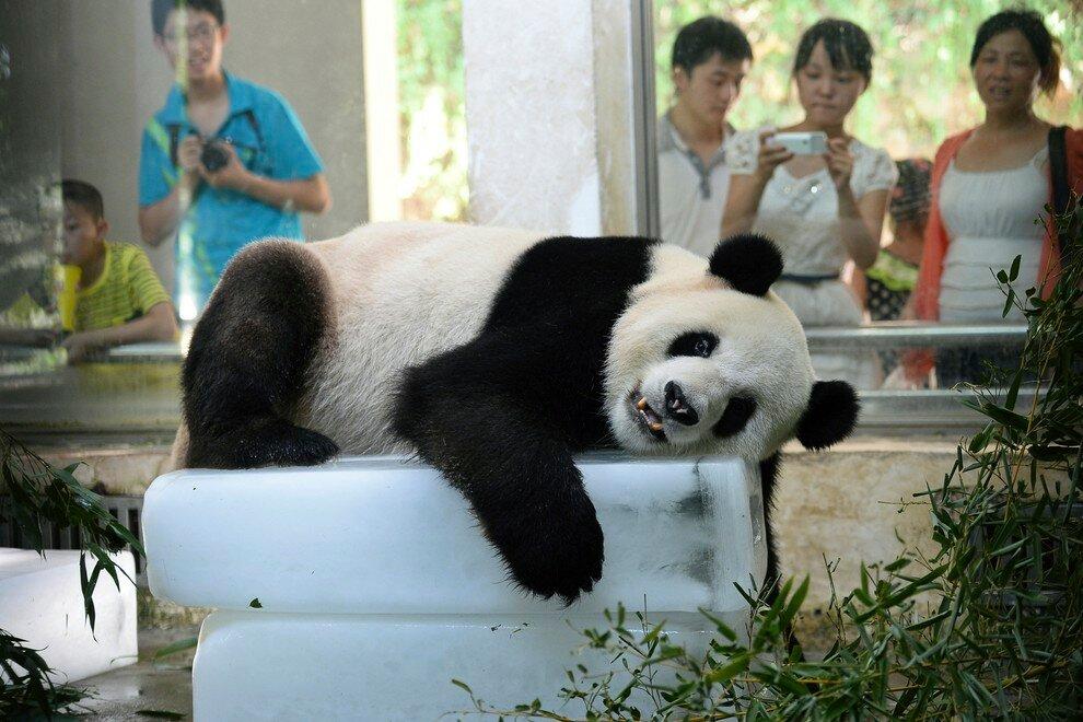 Большая панда на куске льда