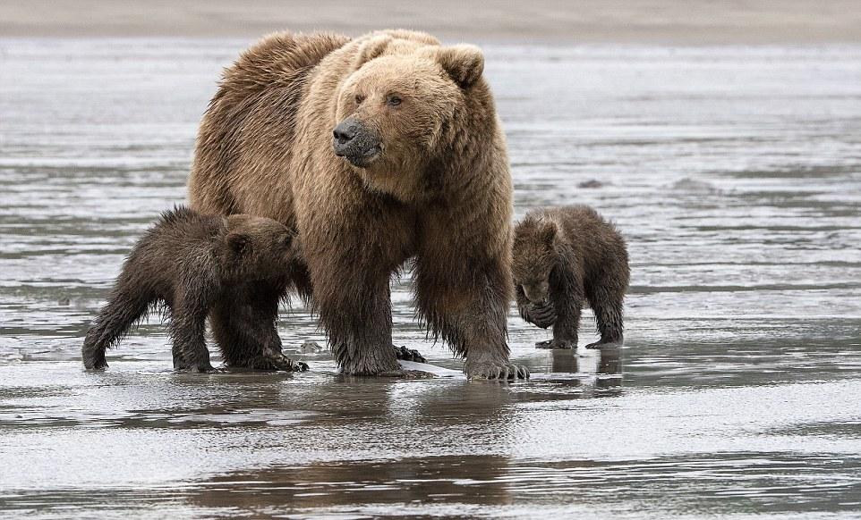 Мама-медведица с 4-месячными малышами