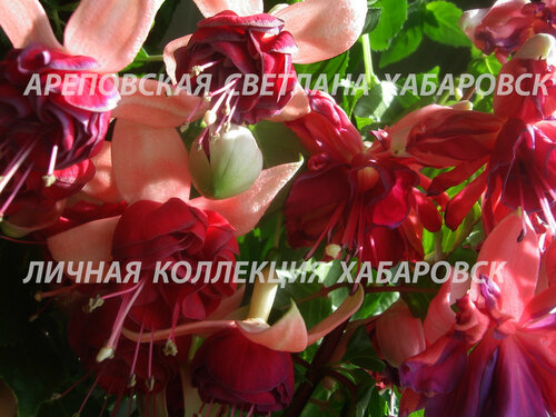 НОВИНКИ ФУКСИЙ. - Страница 5 0_19bbec_ae8df264_L