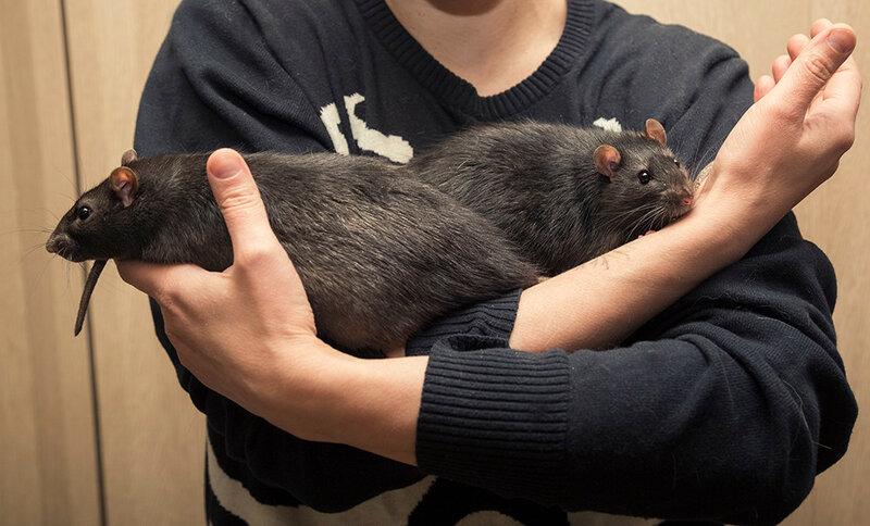 rats4.jpg