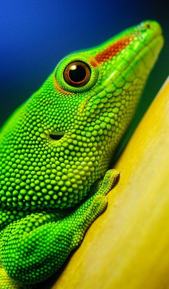 Язык ящерицы может иметь разную форму, цвет и размеры, обычно он является подвижным и легко вытягива
