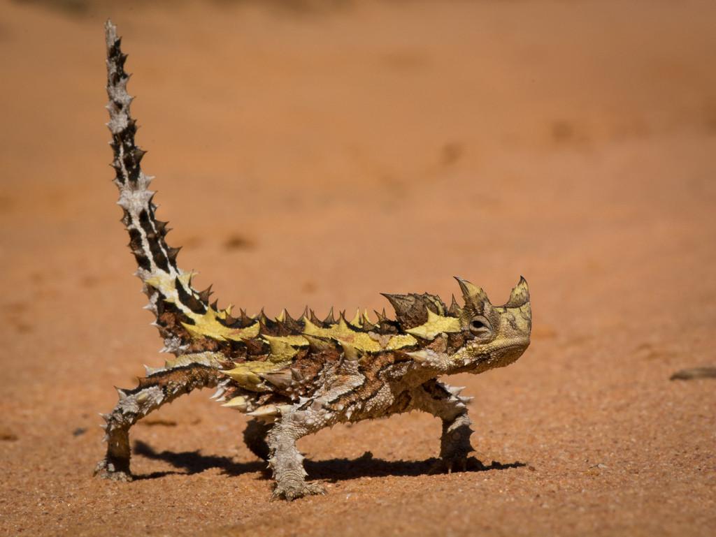 Средняя продолжительность жизни ящерицы – 5-7 лет, максимальная – 12 лет.