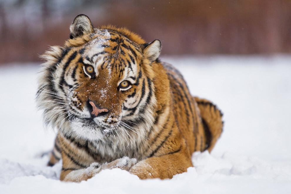 10. Кстати, в зоопарках львы и тигры прекрасно уживаются. Ссоры межу ними возникают не чаще, че