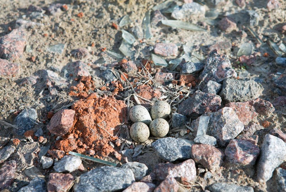 18. Хозяин неподалёку по песку скачет. Это малый зуёк . Птица пляжей нашла в Петербурге свою ни