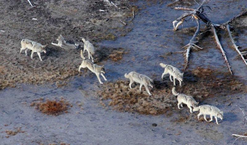 Фтография выше сделана в канадском заповеднике Вуд-Баффало. Оригинальная подпись к фото гласит, что