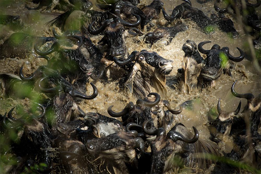 Karen Lunney (Brisbane, Australia). Finalist: Natural World. During their annual migration, wildebee