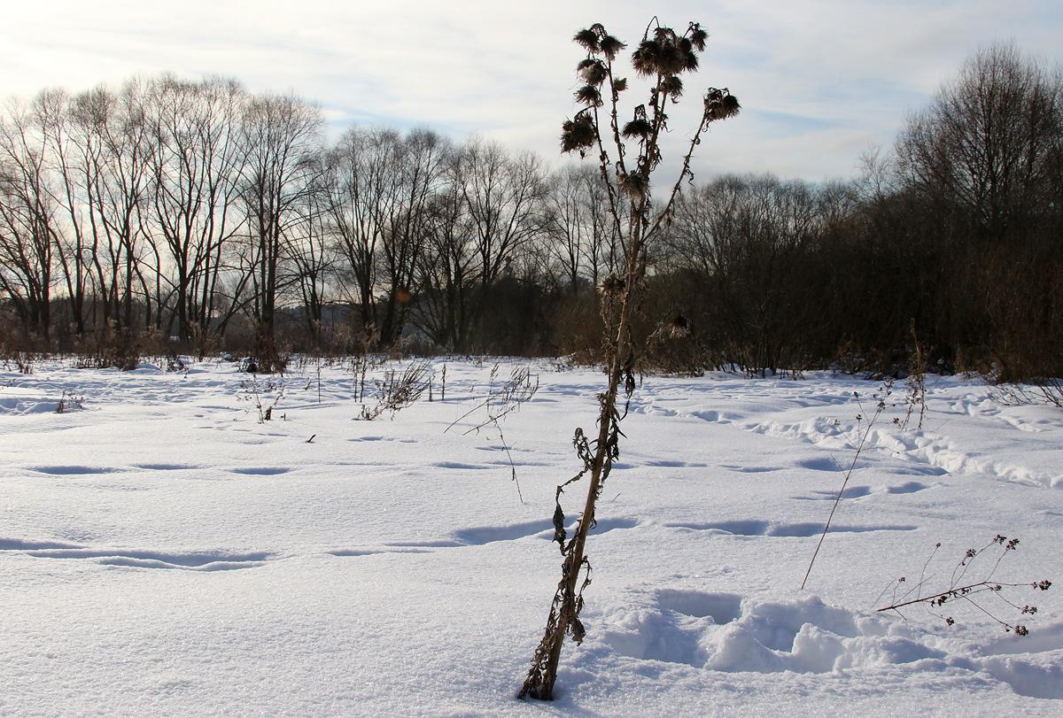 Чертополох зимой