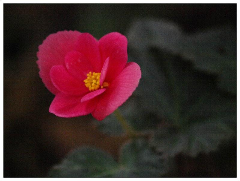 129_Begonia.jpg