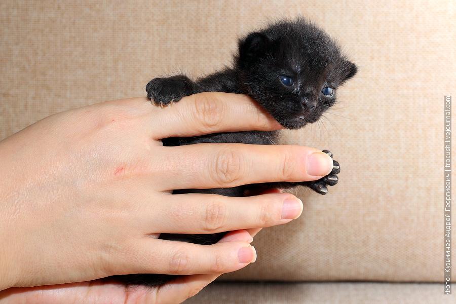 котенок Бомбейской кошки продажа из питомника в Москве