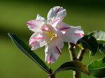 Adenium Obesum Double Flower BONANZA