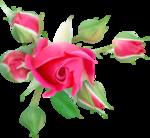NLD Rose 5.png