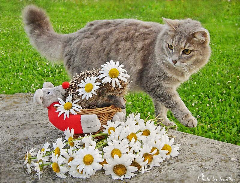 Открытки кот с ромашками