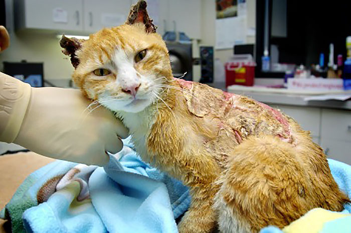 Травмы домашних кошек при свободном уличном выгуле. Burned Cat
