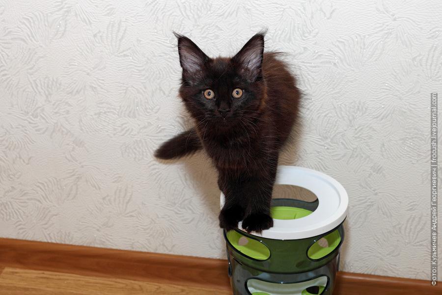 Мейн-кун котенок фото