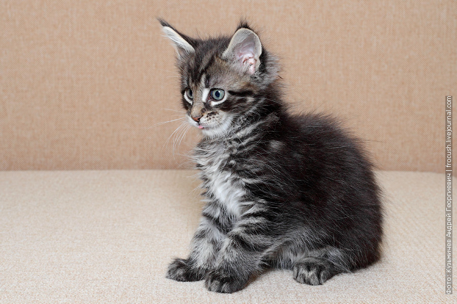 котенок Мейн-кун из питомника в Москве продажа