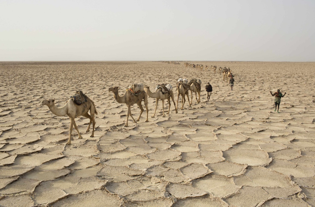 Men walk with their camels through the Danakil Depression, northern Ethiopia