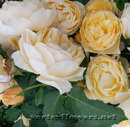 Фото живых цветов, розы