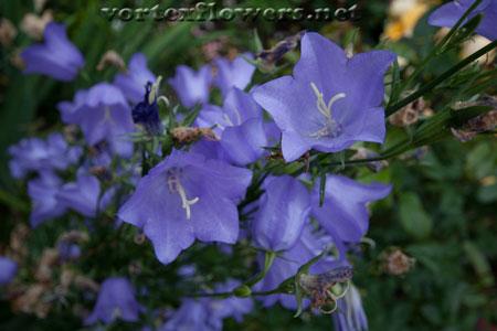 Фото живых цветов. Колокольчик фото.