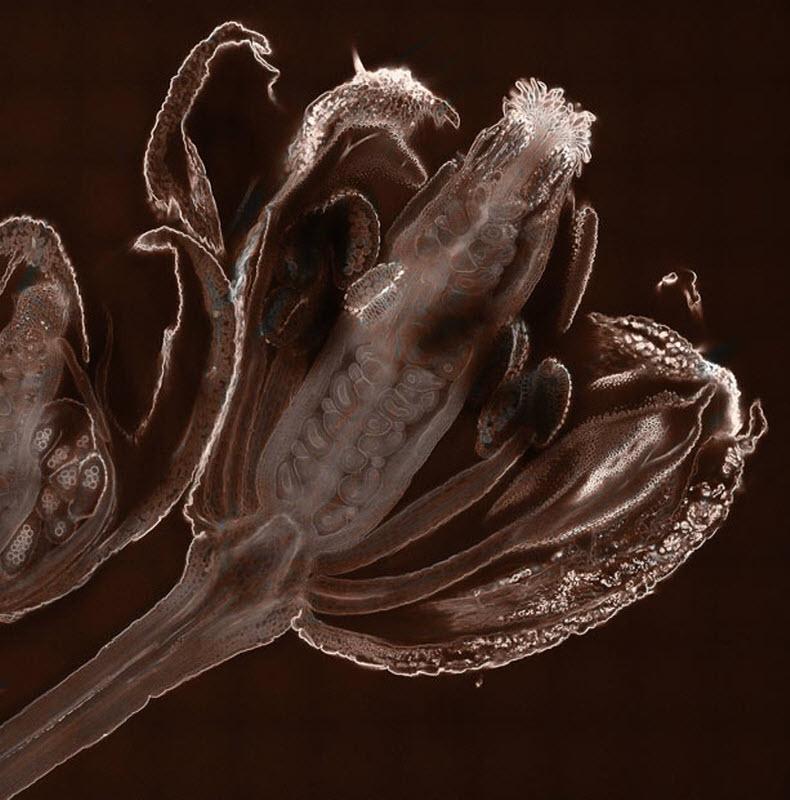 7. Ранняя стадия развития семязачатка сорняка Arabidopsis thaliana (увеличение х20). Фото сделано в