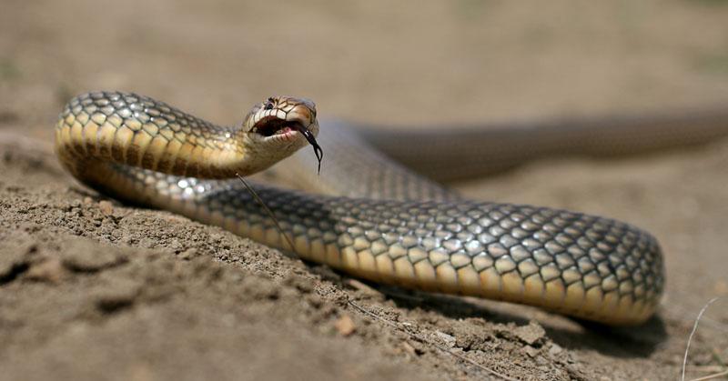 фото змея желтобрюх