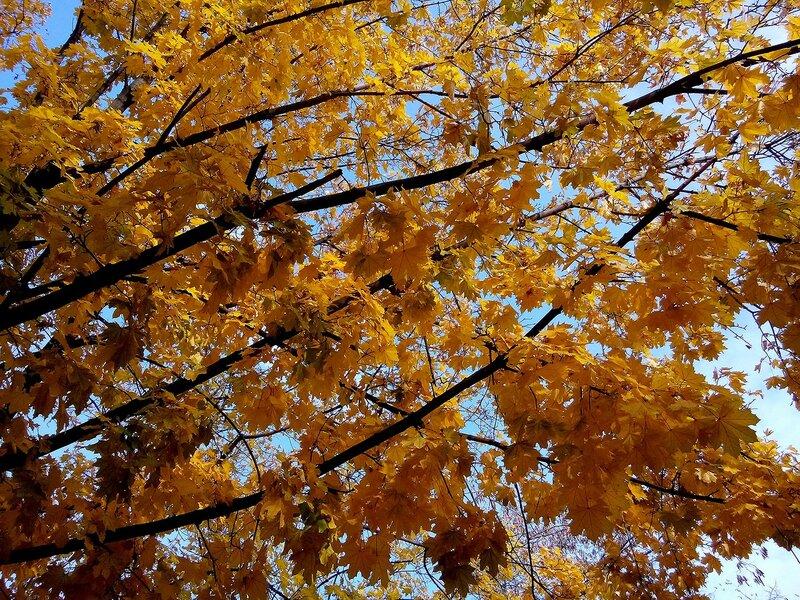 Осенний клён.jpg