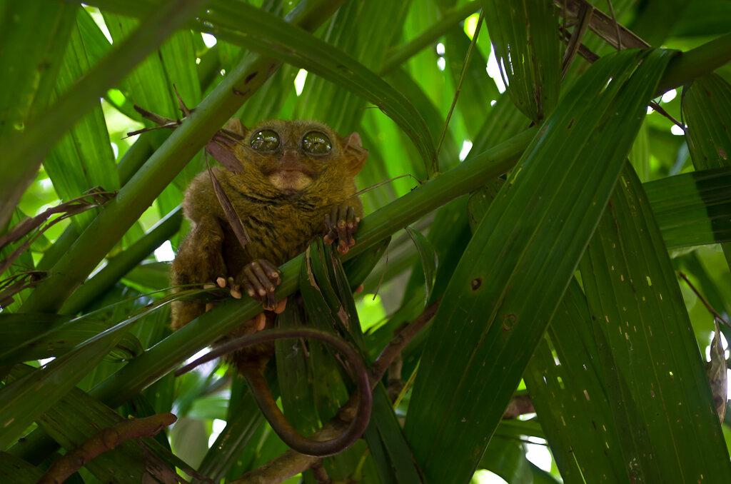 Фотоохота на обезьянку Долгопят (одна из самых маленьких обезьян в мире) на острове Бохоль, что на Филиппинах. Камера - Nikon D5100, объектив - Nikon 18-55mm f/3.5-5.6.