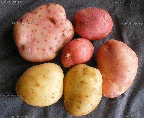 Сады России и их суперэлита картофеля