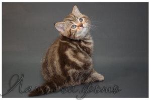 шоколадный мраморный британский короткошерстный кот