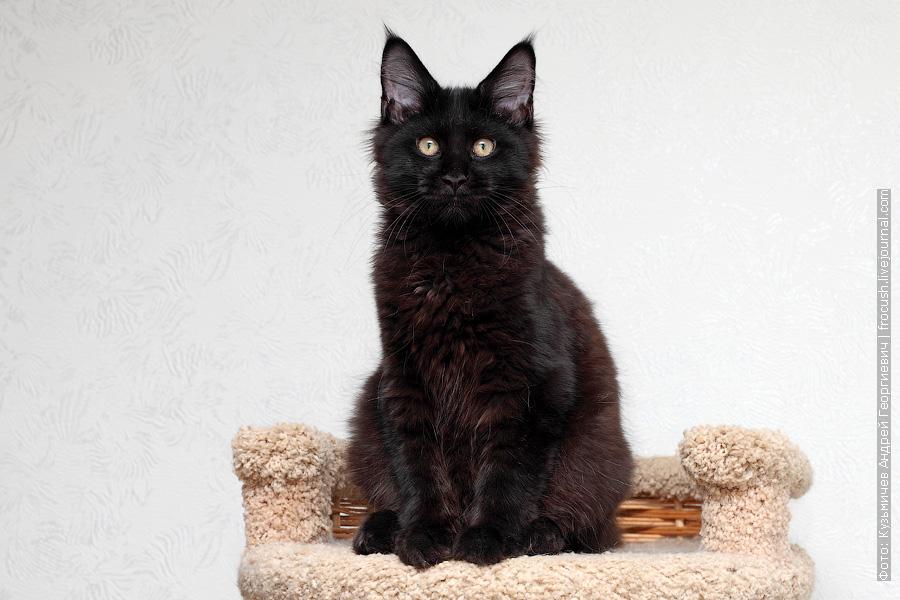 котенок Мейн-кун продажа Москва