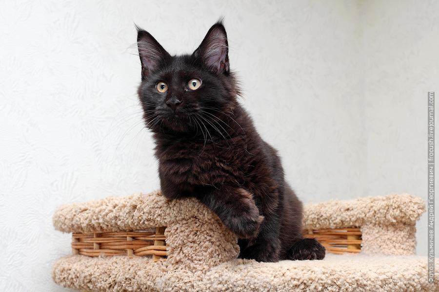 котенок Мейн-кун продажа Москва питомник