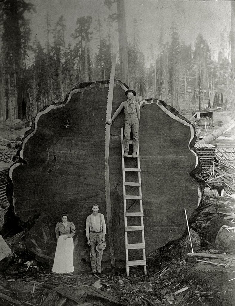 Loggers and the giant Mark Twain redwood cut down in California, 1892.Photograph by N.E. Beckwith