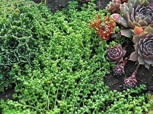 Очиток (седум) коротколистный / Sedum brevifolium