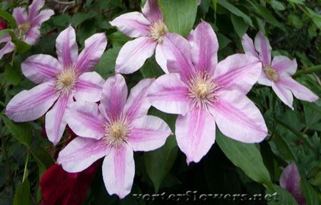 Фото живых цветов. Клематис фото.