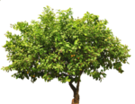 lemon_tree_png_by_evelivesey-d67zmbb.png