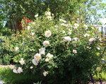 Crocus Rose,Austin, 2000