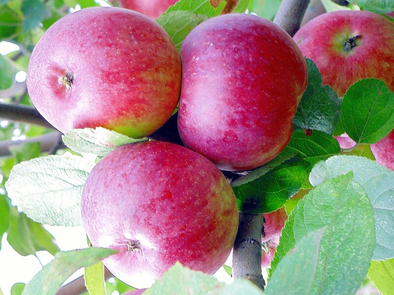 Осенняя яблоня