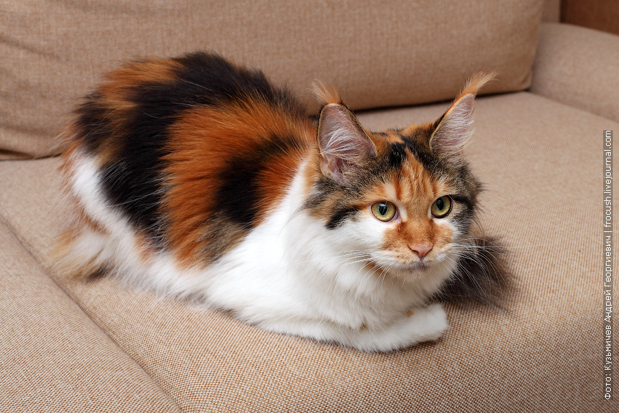 кошка Мейн-кун фото