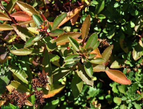Очиток (живучник) живучий / Sedum (aizopsis) aizoon