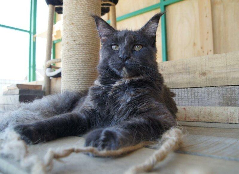 кошка мейн кун питомник zen garden владивосток