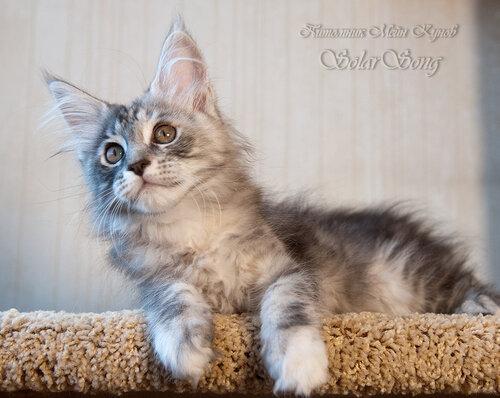 Кошка мейн-кун Зефирка питомник Zen Garden г. Владивосток Приморский край