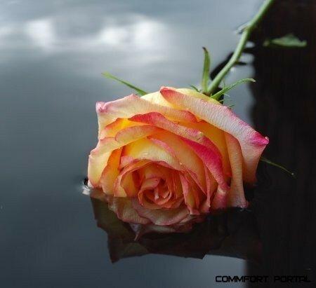 Роза лежит в воде, отражающей небо открытка поздравление картинка