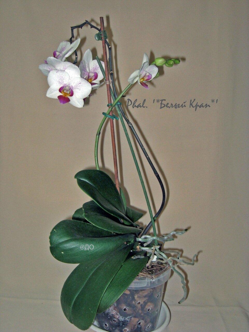 орхидея цветет после пересадки